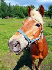 Kůň se dívá přímo do fotoaparátu