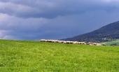 Stádo ovcí na louce před bouří