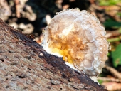 Dřevokazná houba pokrytá ranou rosou