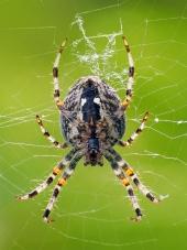 Pohled z blízka na malého pavouka jako tká svou síť