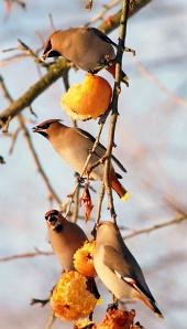 Ptáci jedí jablka