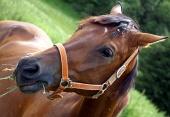 Koník s postrojem žere trávu