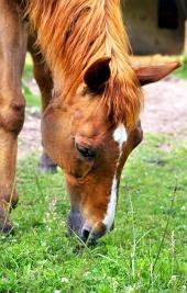 Koník žere trávu