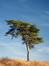 Osamocený strom a modrá obloha