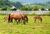 Koně se pasou na poli s domy v pozadí