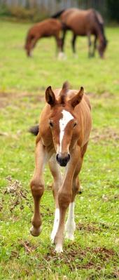 Běžící koník