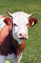 Portrét kravičky na louce