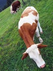 Krávy pasoucí se na poli