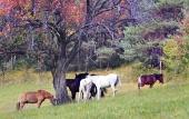 Koně se pasou pod stromem zbarveným podzimními barvami