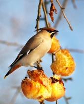 Hladový pták se pase na jablkách