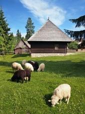 Ovce v blízkosti dřevěnice v Pribylině
