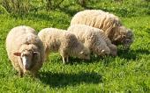 Rodinka oveček na louce