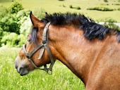 Portrét koně s postrojem