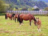 Koně pasoucí se na poli