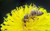 Vosa na žlutém květu