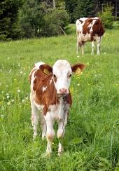 Kráva a telátko