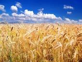 Zlatavé klásky pšenice