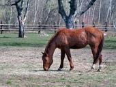 Hnědé koně pasoucí se na poli