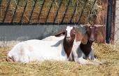 Kozy v ohradě na farmě