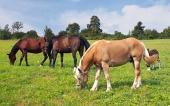 Hnědáci a jeden béžový kůň se pasou na louce