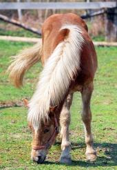 Hnědý kůň s bílou hřívou na pase na ranči