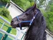 Portrét černého koně zobrazující hlavu s uzdou