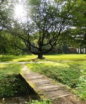 Slunce schované za korunou prastarého stromu