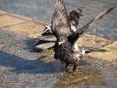 Holub se koupe ve fontáně