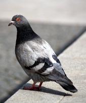 Šedý holub sedí na obrubníku
