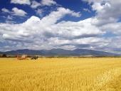 Sklizeň pšenice na Slovensku
