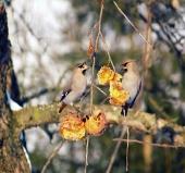 Malé ptáky se krmí na ovoci