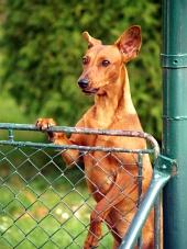 Pes se dívá přes plot