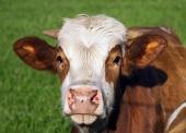 Portrét hnědobílé krávy
