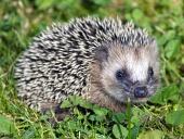 Malý ježek s bodlinami