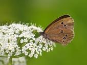 Motýl (Coenonympha) na bílém květu