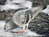 Holub se snaží najít potravu ve sněhu