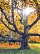 Slunce prosvítá přes obrovský strom během podzimu