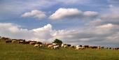 Stádo krav na louce