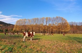 Krávy na poli během podzimu