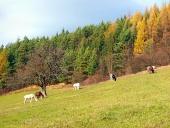 Koně pasoucí se na podzimním poli