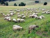 Ovce se pasou na slovenské louce
