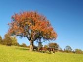 Koně pod stromem v předvečerní hodině