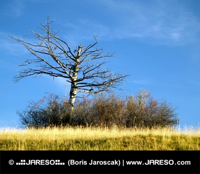 Osamocený vyschlý strom