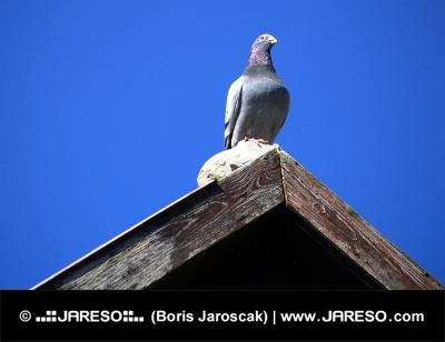 Holub sedí na střeše