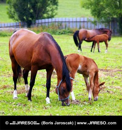 Koně se pasou na poli