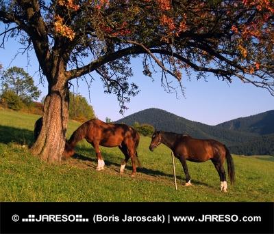 Koně odpočívají pod stromem