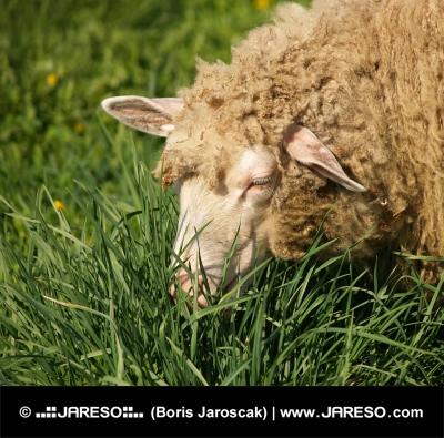 Ovečka přežvykuje trávu