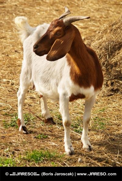 Portrét horské kozy