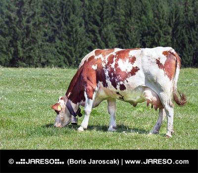 Kráva pasoucí se na poli