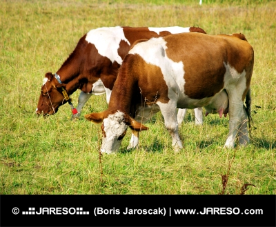 Dvě krávy na zelené louce